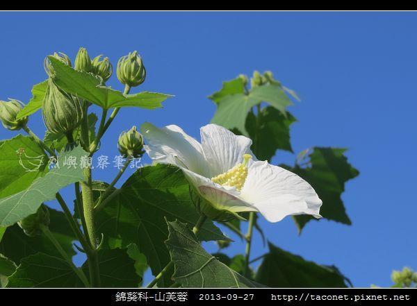 錦葵科-山芙蓉_11.jpg