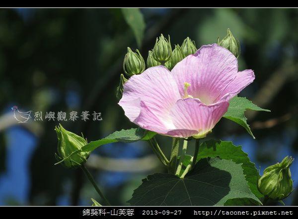 錦葵科-山芙蓉_12.jpg