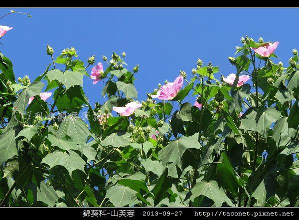 錦葵科-山芙蓉_13.jpg