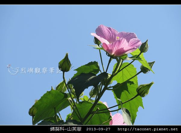 錦葵科-山芙蓉_14.jpg