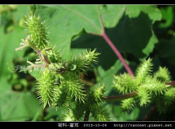 菊科-蒼耳_07.jpg