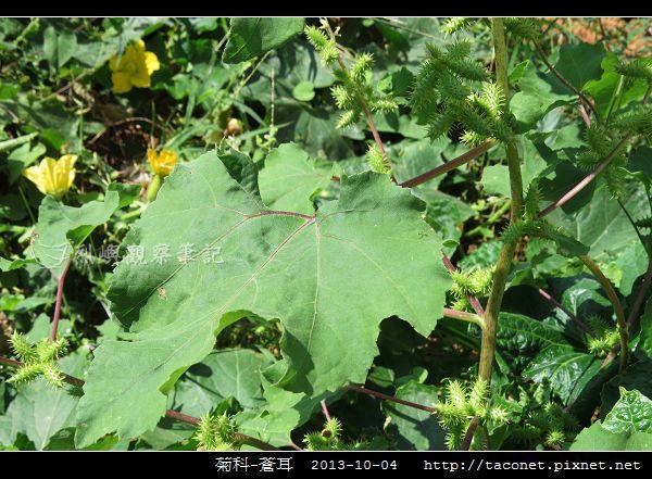 菊科-蒼耳_09.jpg