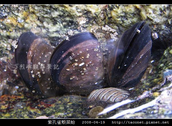 紫孔雀殼菜蛤_03.jpg