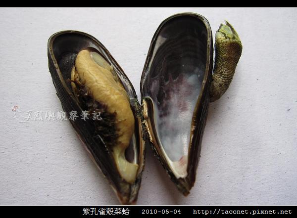 紫孔雀殼菜蛤_05.jpg
