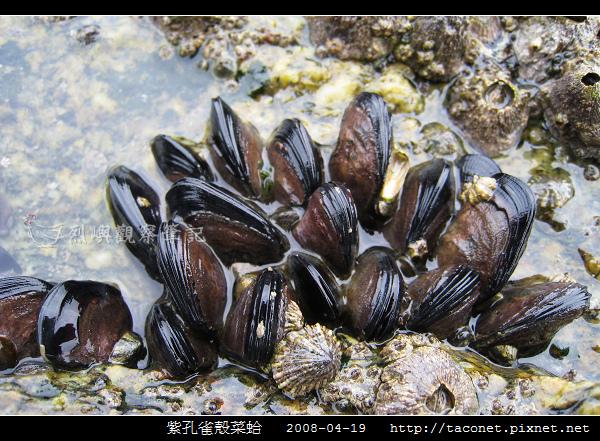 紫孔雀殼菜蛤_04.jpg