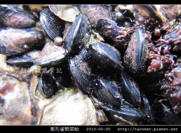 紫孔雀殼菜蛤_06.jpg