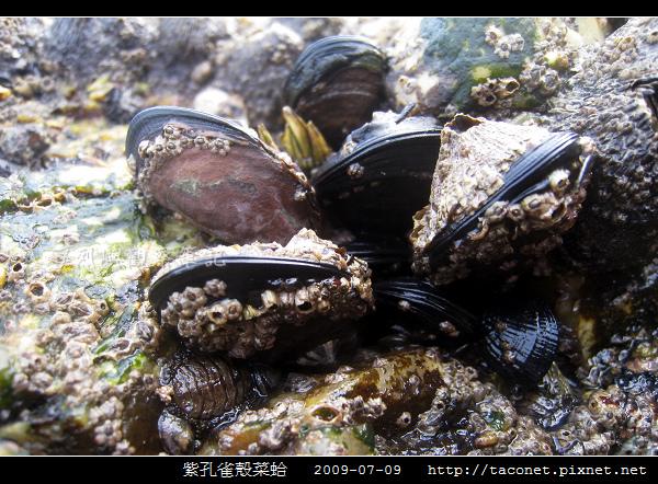 紫孔雀殼菜蛤_07.jpg
