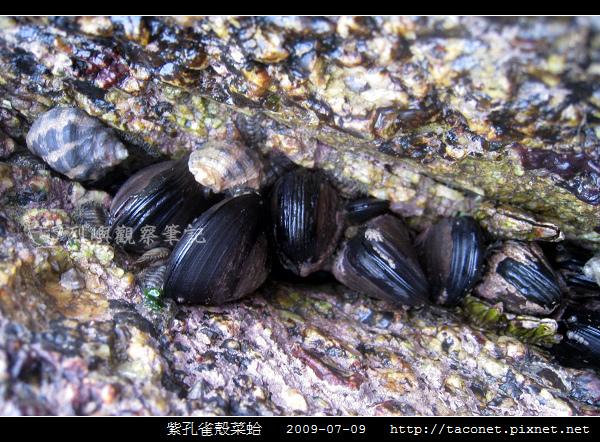 紫孔雀殼菜蛤_08.jpg