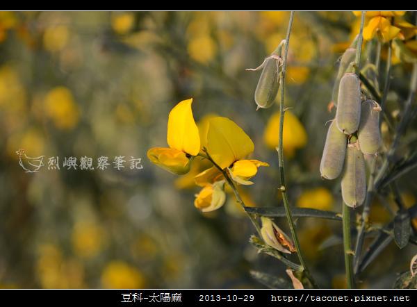 豆科-太陽麻_01.jpg