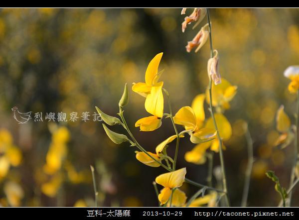 豆科-太陽麻_03.jpg