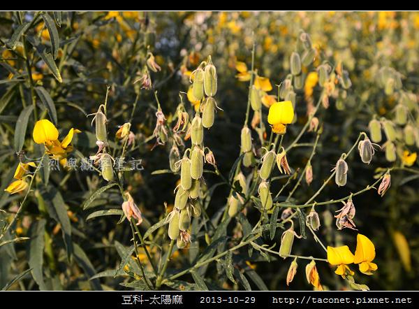 豆科-太陽麻_04.jpg