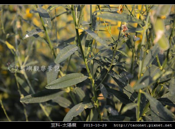 豆科-太陽麻_05.jpg