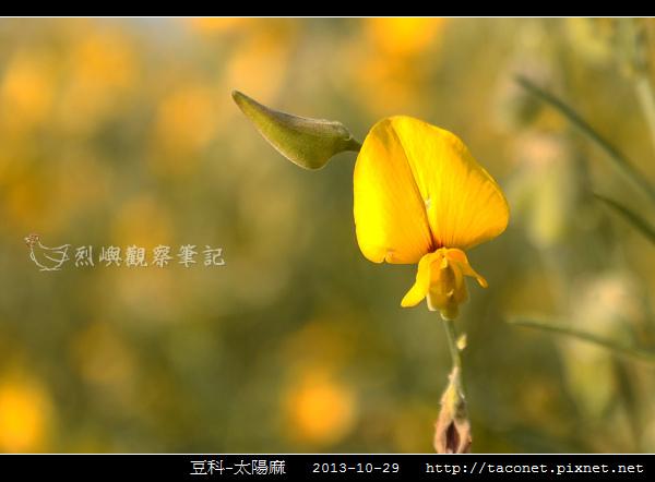 豆科-太陽麻_07.jpg