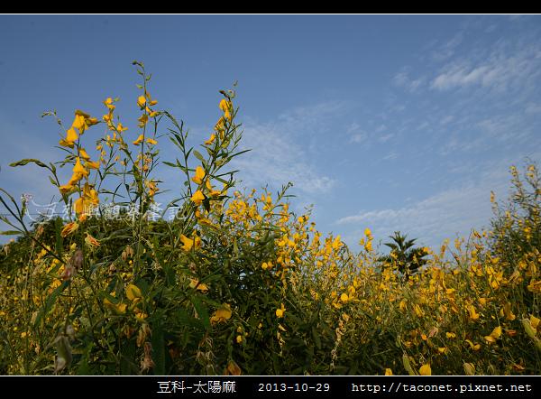 豆科-太陽麻_08.jpg