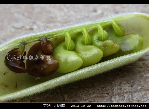 豆科-太陽麻_09.jpg
