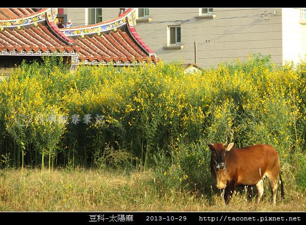 豆科-太陽麻_10.jpg