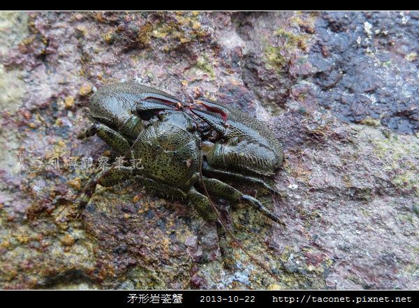 矛形岩瓷蟹_02.jpg