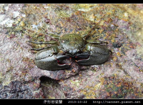 矛形岩瓷蟹_03.jpg