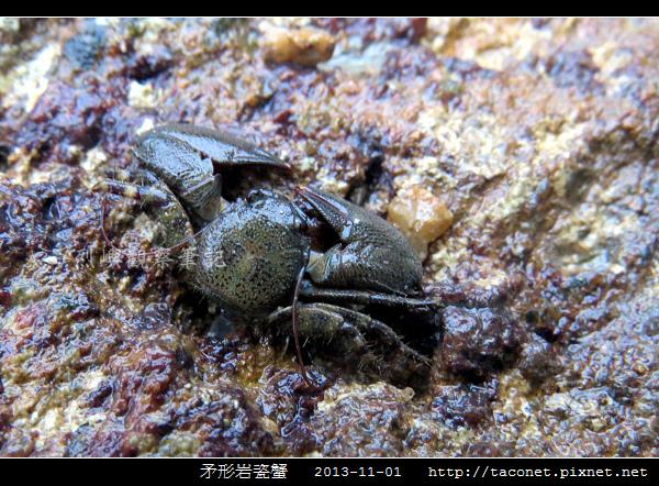 矛形岩瓷蟹_06.jpg