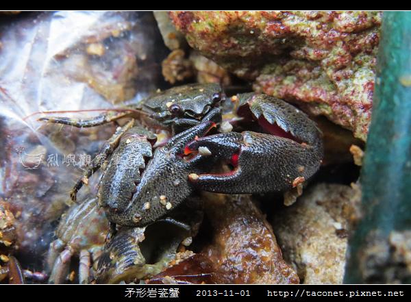 矛形岩瓷蟹_07.jpg