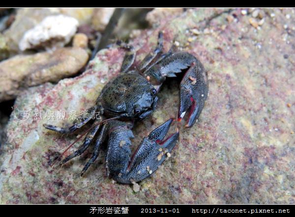 矛形岩瓷蟹_08.jpg