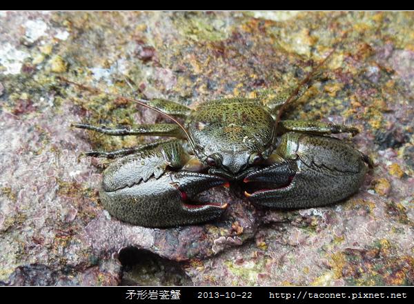 矛形岩瓷蟹_10.jpg