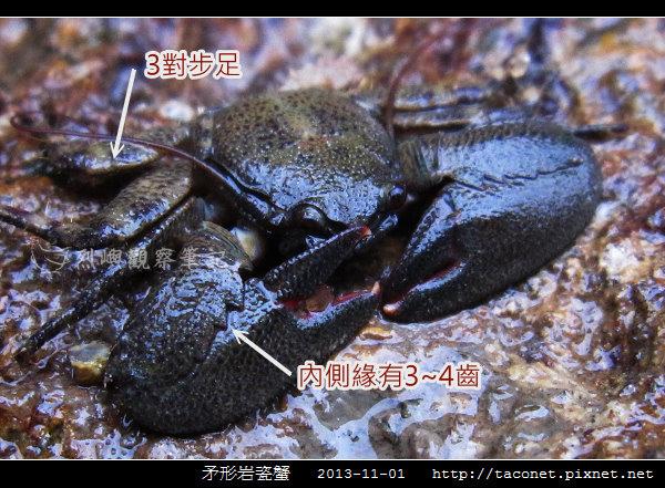 矛形岩瓷蟹_01.jpg