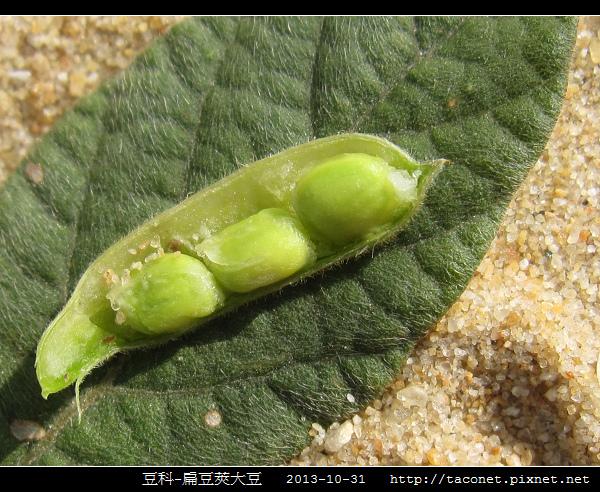 豆科-扁豆莢大豆_04.jpg