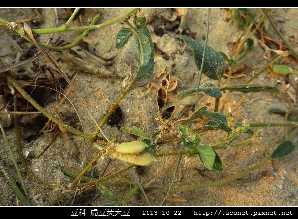 豆科-扁豆莢大豆_09.jpg