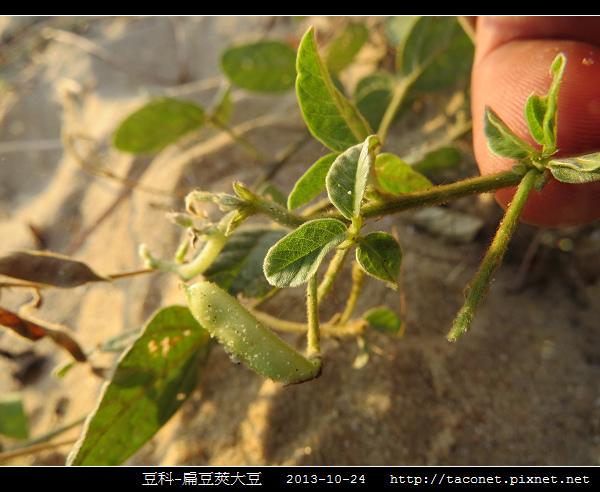 豆科-扁豆莢大豆_12.jpg