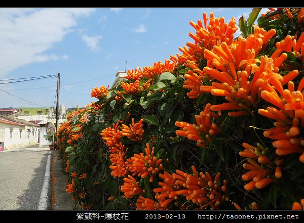 紫葳科-爆杖花_08.jpg