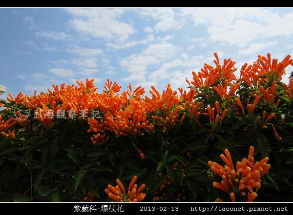 紫葳科-爆杖花_09.jpg