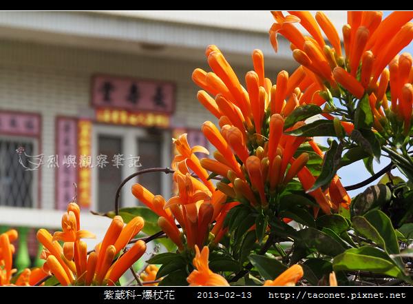 紫葳科-爆杖花_10.jpg