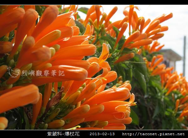 紫葳科-爆杖花_11.jpg