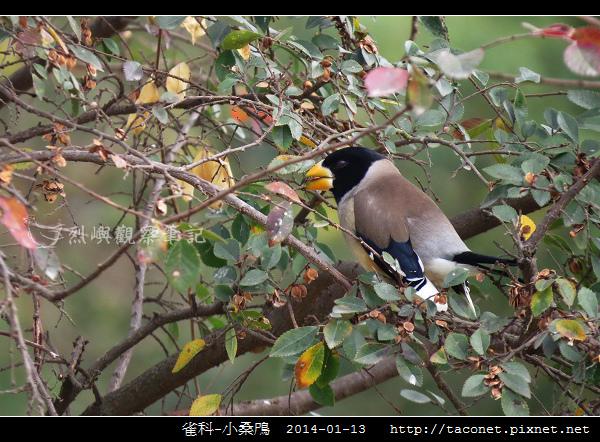 燕雀目 小桑鳲_09.jpg