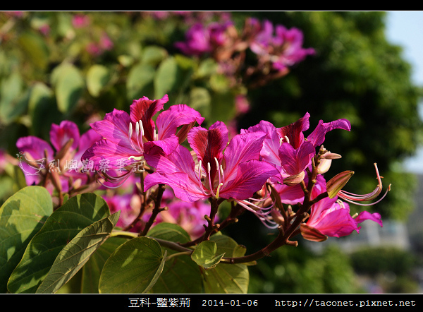 豆科-豔紫荊_14.jpg