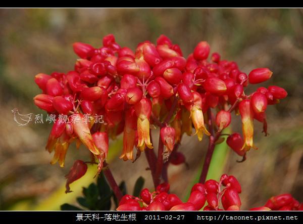 景天科-落地生根_05.jpg