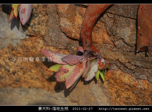 景天科-落地生根_06.jpg