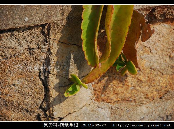 景天科-落地生根_08.jpg