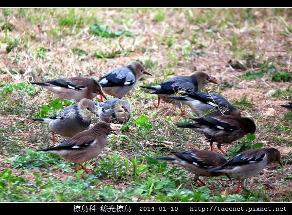 椋鳥科-絲光椋鳥_02.jpg