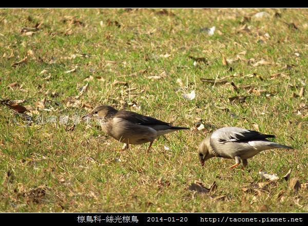 椋鳥科-絲光椋鳥_05.jpg