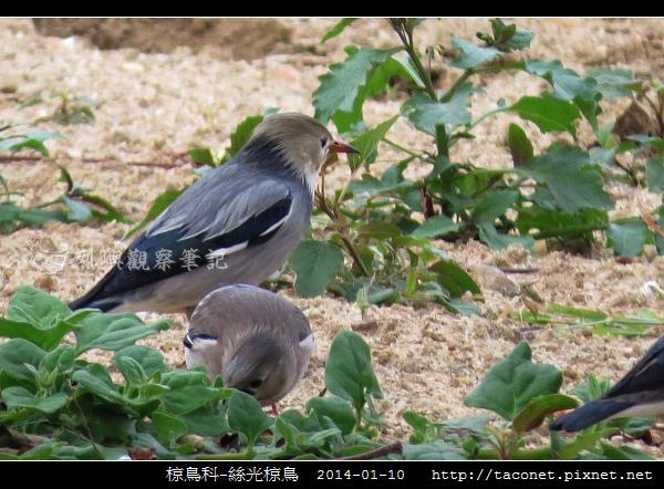 椋鳥科-絲光椋鳥_09.jpg