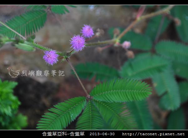 豆科-含羞草_01.jpg
