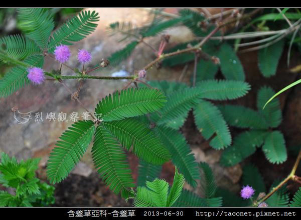 豆科-含羞草_02.jpg