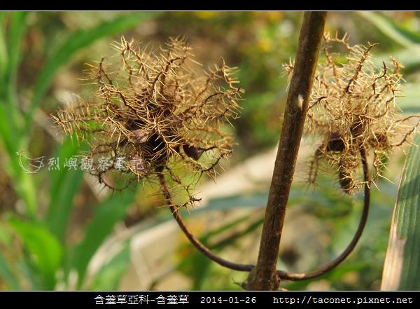 豆科-含羞草_03.jpg