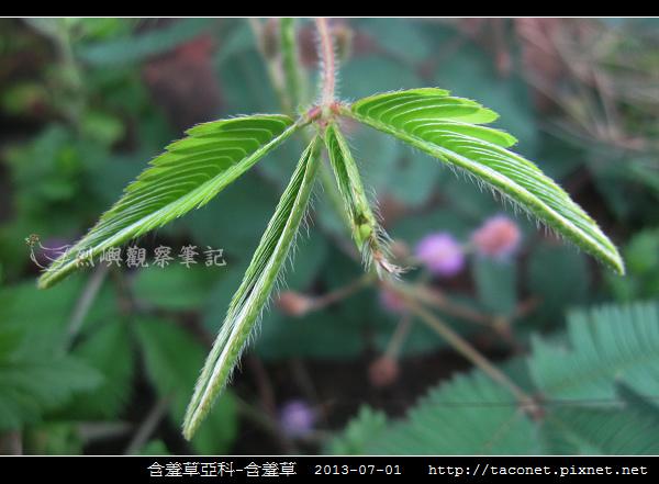 豆科-含羞草_06.jpg