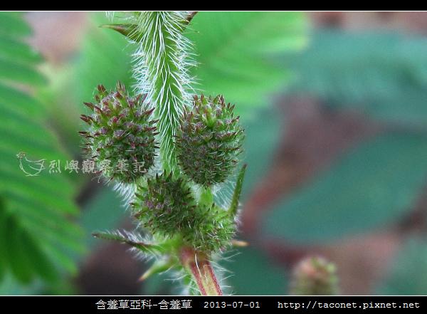 豆科-含羞草_05.jpg