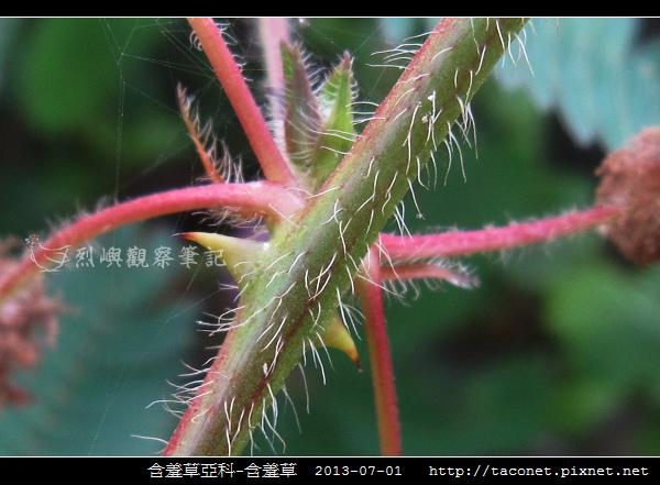 豆科-含羞草_08.jpg