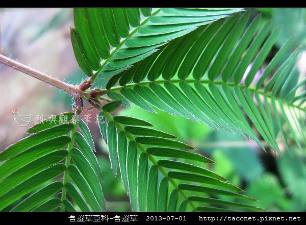 豆科-含羞草_09.jpg