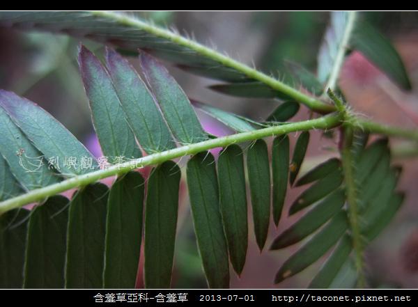 豆科-含羞草_10.jpg